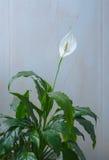 Schöne weiße Blumen und grüne Blätter tropischen Blume spathiphyllum Stockfotos