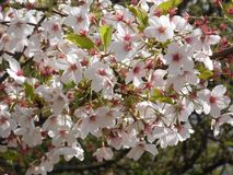 Schöne weiße Blumen von einem Baum Lizenzfreies Stockfoto