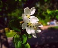 Schöne weiße Blumen von Kirschblüten an einem Frühlingstag im Park Stockbilder