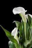 Schöne weiße Callalilien mit Grün verlässt über schwarzem Hintergrund Stockfoto