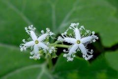 Schöne weiße Doppelblume bedeckt mit grünem Blatthintergrund lizenzfreie stockbilder