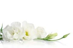 Schöne weiße Eustomablumen Stockbilder