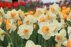 Schöne weiße gelbe narcise Blume Lizenzfreies Stockfoto