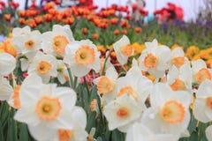 Schöne weiße gelbe narcise Blume Stockfotos
