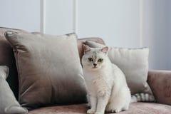 Schöne weiße graue Katze auf cauch in klassischem französischem Hauptdekor n lizenzfreie stockfotografie
