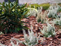Schöne weiße Heide in der Blüte Stockfotografie