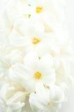 Schöne weiße Hyazinthe Stockfotografie