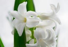 Schöne weiße Hyazinthe. Lizenzfreies Stockfoto