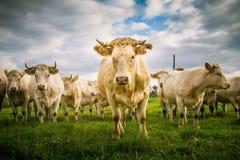 Schöne weiße Kühe auf dem Gebiet stockbilder