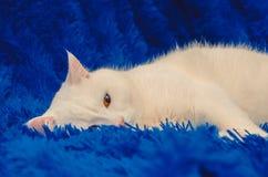 Schöne weiße Katze mit den gelben Augen, die auf einem blauen Hintergrund sich entspannen stockbild