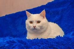 Schöne weiße Katze mit gelben Augen sitzt auf einer blauen flaumigen Bettdecke lizenzfreies stockfoto