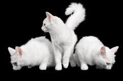 Schöne weiße Katzen schauen jede, die Methode Lizenzfreies Stockfoto