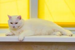 Schöne weiße Katzenkatze, die auf Fensterbrett liegt stockbilder