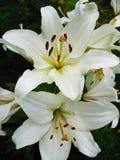 Schöne weiße Lilien Stockfotos