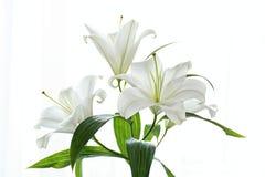 Schöne weiße Lilien auf weißem Hintergrund stockfotos