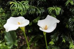 Schöne weiße Lilien in einer vollen Blüte am Tageslicht Stockbilder