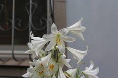 Schöne weiße Lilien machen das Augengefallen Stockfoto