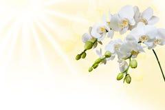 Schöne weiße Orchidee stockfotos