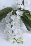 Schöne weiße Orchidee Stockfotografie