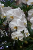 Schöne weiße Orchidee Stockbild