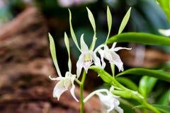 Schöne weiße Orchidee der Nahaufnahme Stockfotografie