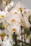 Schöne weiße Orchideeblumen Stockfoto