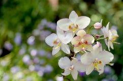 Schöne weiße Orchideen. Stockfotos