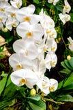 Schöne weiße Orchideen Stockfotos