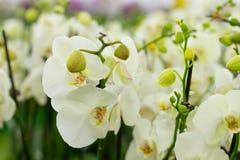 Schöne weiße Orchideen lizenzfreie stockbilder