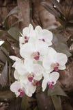 Schöne weiße Orchideenblume auf der Morgensonne Stockbild