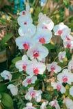 Schöne weiße Orchideenblume auf der Morgensonne Lizenzfreies Stockfoto