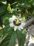 Schöne weiße passifora Blume am Frontyard Lizenzfreies Stockfoto