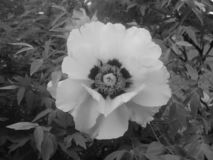 Schöne weiße Pfingstrosenblumen, die besonders für ein Mädchen blühen stockbild