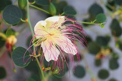 Schöne weiße rosa capparaceae blühen Hintergrund stockbild