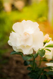 Schöne weiße Rosen Lizenzfreies Stockfoto