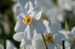 Schöne weiße, rote und gelbe Aconitum tauricum Blume von den Alpen im Sommersonnenschein Lizenzfreie Stockfotos