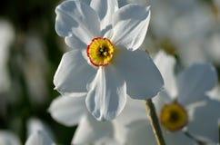 Schöne weiße, rote und gelbe Aconitum tauricum Blume von den Alpen im Sommersonnenschein Stockfotos