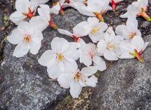 Schöne weiße Sakura Flowers On The Stone Lizenzfreies Stockfoto