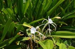 Schöne weiße Spinnen-Lilien schmücken die Landschaft in Mexiko lizenzfreies stockbild