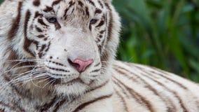 Schöne weiße Tiger Portrait-Nahaufnahme Stockfotografie