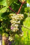 Schöne weiße Trauben im Weinberg Lizenzfreie Stockbilder