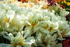 Schöne weiße Tulpen Lizenzfreies Stockfoto