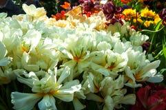 Schöne weiße Tulpen Stockfoto