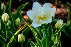 Schöne weiße Tulpen stockbild