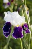 Schöne weiße und blaue Iris Sommerblüte im Garten Stockfoto