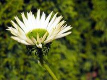 Schöne weiße und grüne Blume Lizenzfreies Stockfoto