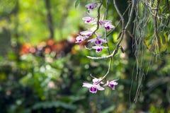 Schöne weiße und purpurrote Orchideen im Garten Stockfotografie