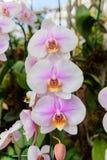 Schöne weiße und purpurrote Orchideenblume auf der Morgensonne Stockfotografie