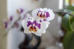 Schöne weiße und rosa Blumen der Orchidee zwei in Blüte Innenphalaenopsis, punktiert mit den hellgelben Blumenblättern lizenzfreie stockfotografie