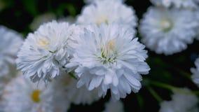 Schöne Weißklee blüht im Frühjahr und grünes Gras Lizenzfreie Stockfotos